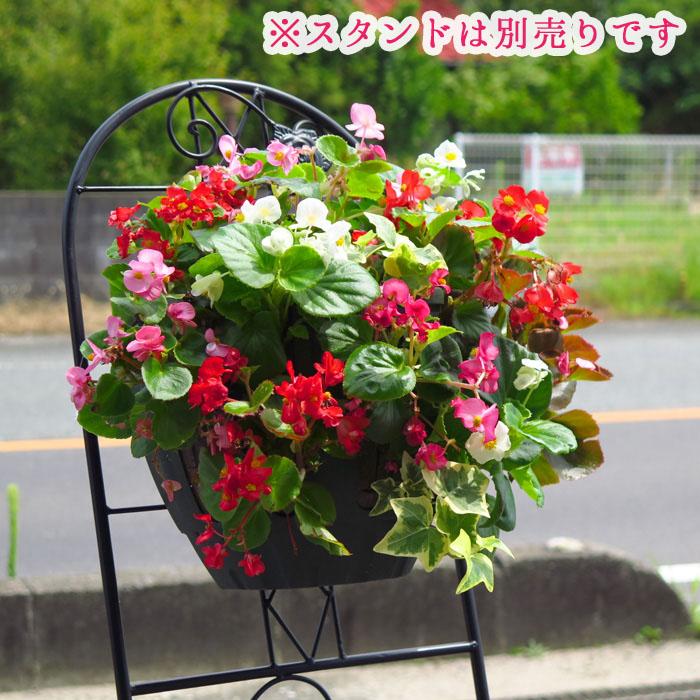 ベゴニアのハンギングバスケット寄せ植え[カラフルMIX(シンプル)]開花期間:春から晩秋まで(寄せ植え/セット/ギフト/花/寄植え/鉢植え/壁掛け/春/夏/通販