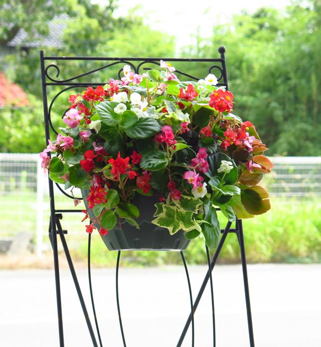ベゴニアのハンギングバスケット寄せ植え『*カラフルMIX*』12月までグングン成長して咲き乱れます♪