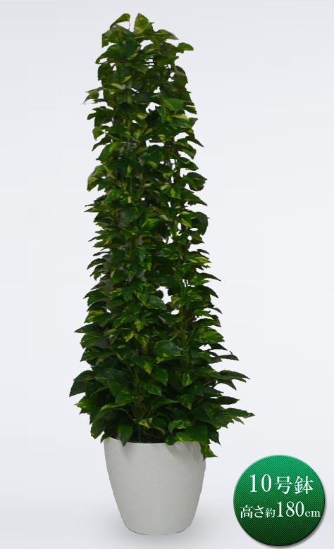 観葉植物 大型 ポトス タワー 仕立て 10号鉢 ラスターポット 送料無料 観葉植物 開店祝い インテリア 開業祝い 人気 おしゃれ 移転祝い オフィス 即S12