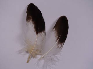 装飾用の羽根 アクセサリー 卓抜 パーツ 羽 絶品 羽根 イヌワシウラ小羽 手芸 しゅげい アクセサリ フェザー