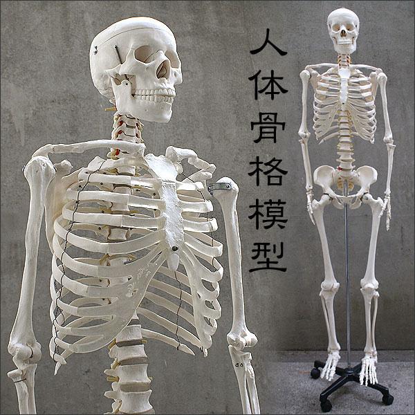 〈1年保証〉人体模型 約166cm 人体骨格模型 等身大の人体の骨格をリアルに表現!人体骨格模型 ヒューマンスカル 模型 人体模型 骨格標本 骨格モデル 整体 整骨院 おもちゃ リアル 小道具 おもちゃ[送料無料]