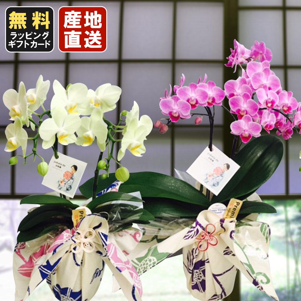 ミニ胡蝶蘭 yukata de 胡蝶蘭 4号鉢植え 2本立て ピンク イエロー /お中元 ギフトに花のプレゼント 生花 鉢植え 開店祝いに 母の日 父の日