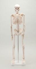 人体模型 骨格模型85cm~JM-038 東洋医学 経絡 経穴 部位 接骨院