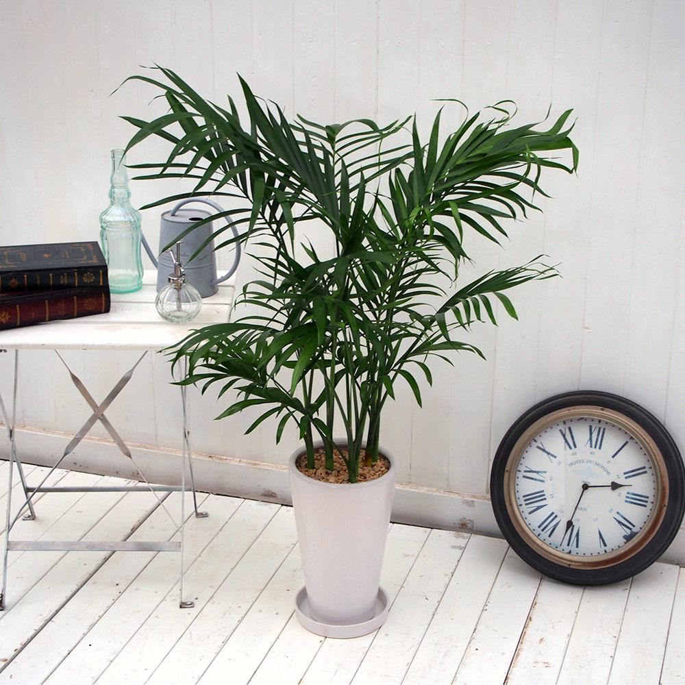 【日比谷花壇】 観葉植物「メキシコケンチャヤシ」 おしゃれ インテリア