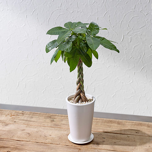 引越し祝いや開店祝い AL完売しました 誕生日におすすめの観葉植物です スーパーセール 日比谷花壇 誕生日 花 プレゼント おしゃれ ホワイトポット パキラ M 観葉植物 インテリア