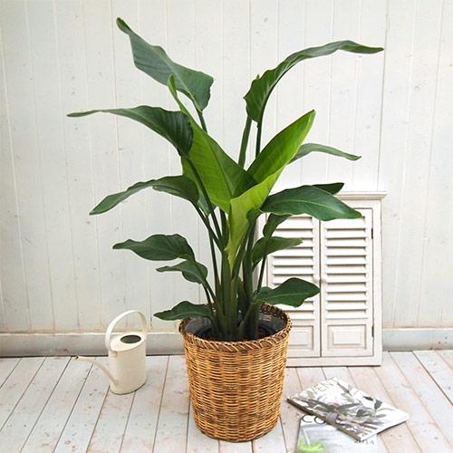 【日比谷花壇】 観葉植物「オーガスタ(L)・バスケット」 おしゃれ インテリア