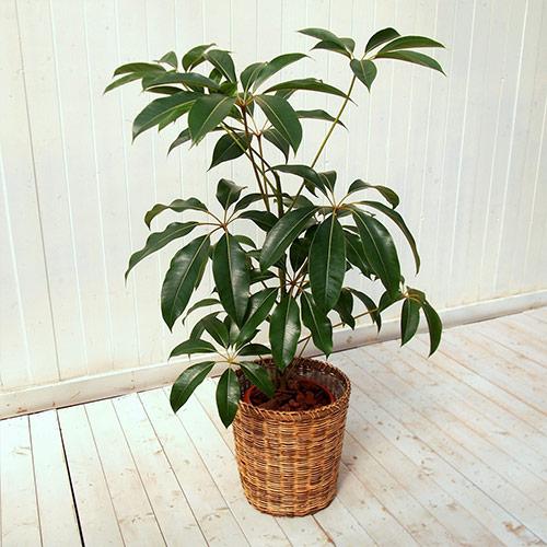 【日比谷花壇】 観葉植物「ツピタンサス(L)・バスケット」 おしゃれ インテリア