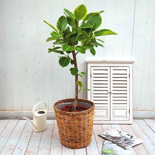 【日比谷花壇】観葉植物「アルテシマゴム(L)・バスケット」 おしゃれ インテリア
