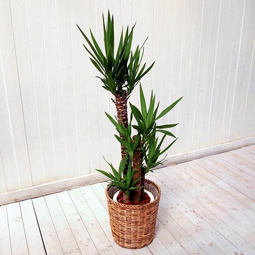 【日比谷花壇】観葉植物「青年の木(L)バスケット」 おしゃれ インテリア