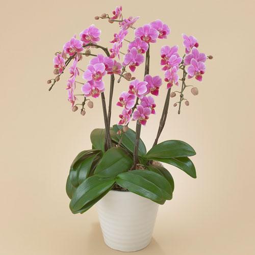 【日比谷花壇】【ネット限定】ミディ胡蝶蘭(ピンク)5本立ち お祝い 開店祝い 鉢花