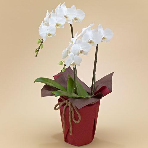 【日比谷花壇】【ネット限定】ミディ胡蝶蘭(ホワイト)2本立ち お祝い 開店祝い 鉢花