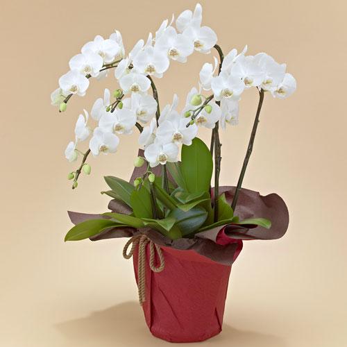 【日比谷花壇】【ネット限定】ミディ胡蝶蘭(ホワイト)5本立ち お祝い 開店祝い 鉢花