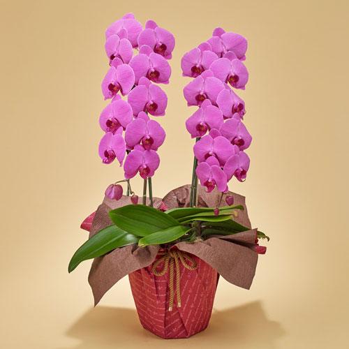 【日比谷花壇】「胡蝶蘭(ピンク)2本立ち」 お祝い 開店祝い 鉢花