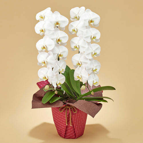 【日比谷花壇】「胡蝶蘭(ホワイト)2本立ち」 お祝い 開店祝い 鉢花