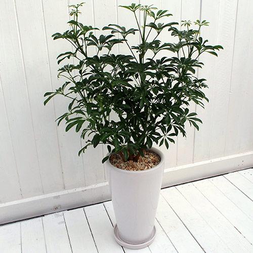 【日比谷花壇】 観葉植物「カポックコンパクタ・ホワイトポット」 おしゃれ インテリア