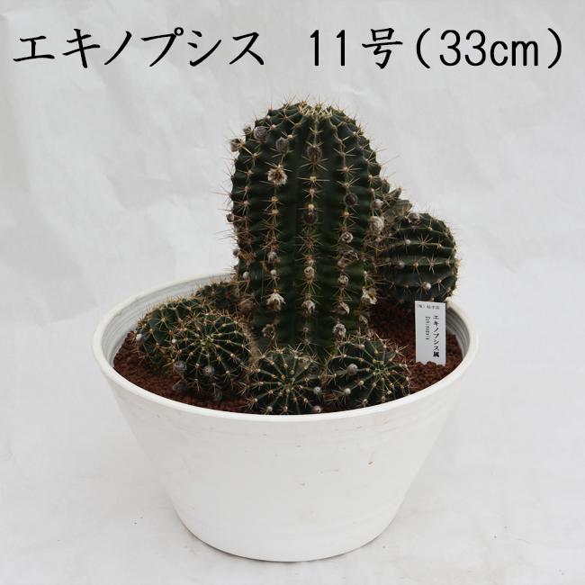 信頼と安心の岐孝園 エキノプシス 11号 33cm 写真とお送りする商品は異なります 希少 レア 珍品 産直 サボテン 多肉植物 生産量日本最大級 Echinopsis オシャレ インテリア プレゼント かわいい 花