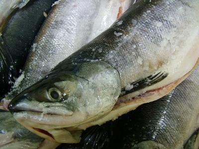 季節はずれの鮭 トキシラズ 脂ののりが抜群です サケ トキ鮭 冷凍時鮭1本-2.5kg前後 北海道産 送料無料 ギフト 父の日 お歳暮 大幅値下げランキング 2020新作 お中元 母の日