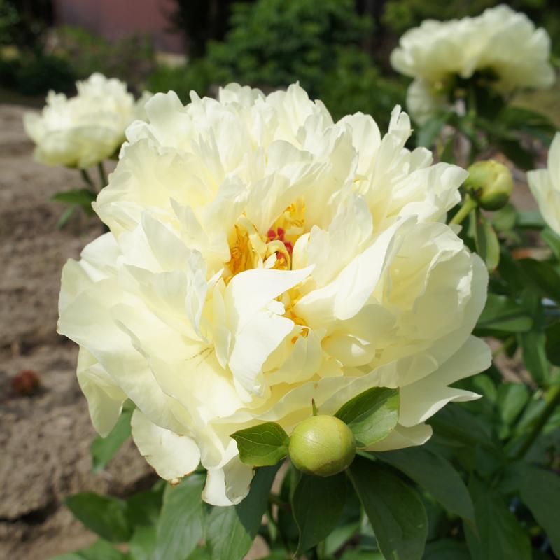 芍薬「レモンシフォン」 ポット苗 芍薬/シャクヤク/しゃくやく