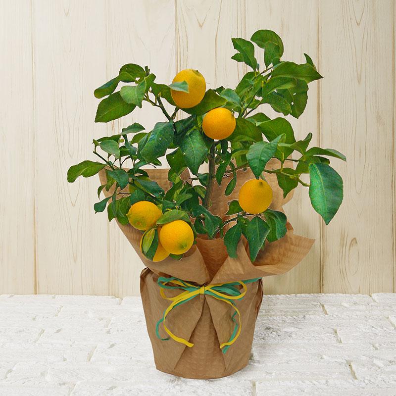 敬老ギフト 実付きレモン おすすめ特集 敬老の日ギフト2021 品質保証 送料無料 秋の花ギフト