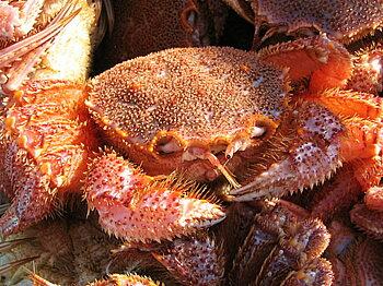 かにと言えば 北海道 北釧水産 「蟹の匠」厳選!極上「活」毛がに2尾で1.2kg前後入【A】
