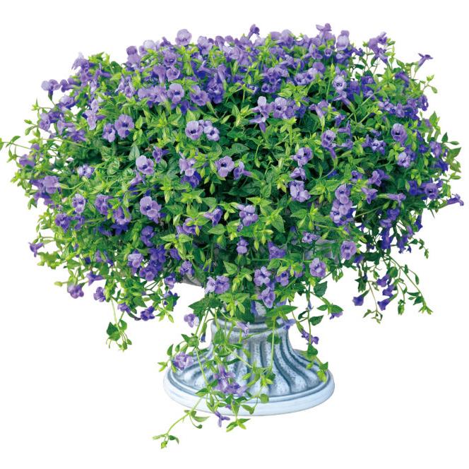 当店農場生産 即納最大半額 スーパートレニア カタリーナ ブルーリバー 強くて大輪咲き品種 代引き不可 9センチポット苗