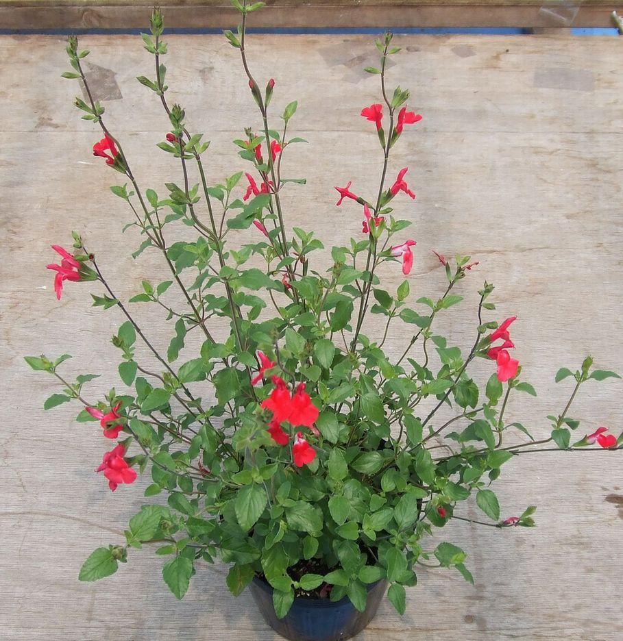 当店農場生産 チェリーセージ 特価キャンペーン ホットリップ 紅白咲き9センチポット 交換無料 耐寒性宿根草で毎年咲く