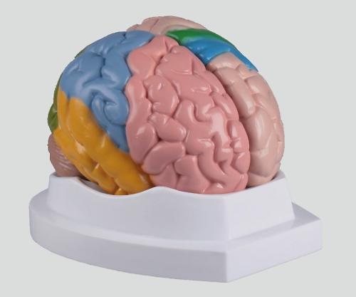 【送料無料】ナビス 脳5分解モデル 180×150×140 8-8314-01