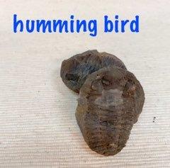 オークションでも高値が付くボリビア産です ボリビア産 三葉虫 化石 約3~4億年前 ノジュール 開催中 エスニック マーケティング