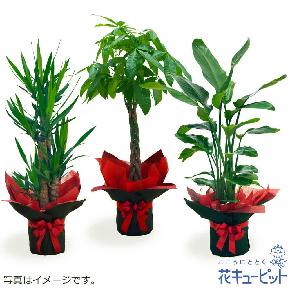お祝いギフトやご自宅用に 季節に合った観葉植物をお届けします お花屋さんがお届け 観葉植物 インテリア グリーン 鉢植え おしゃれ おまかせ ギフト プレゼント 開店 花キューピットの観葉植物 ddg00-kanyou10 与え お祝い 送料無料