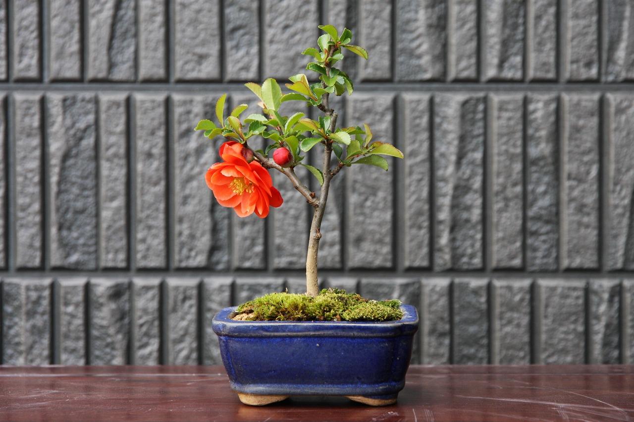 (株)一樹園 彩良長寿梅(八重咲き) 小品盆栽/樹齢4年