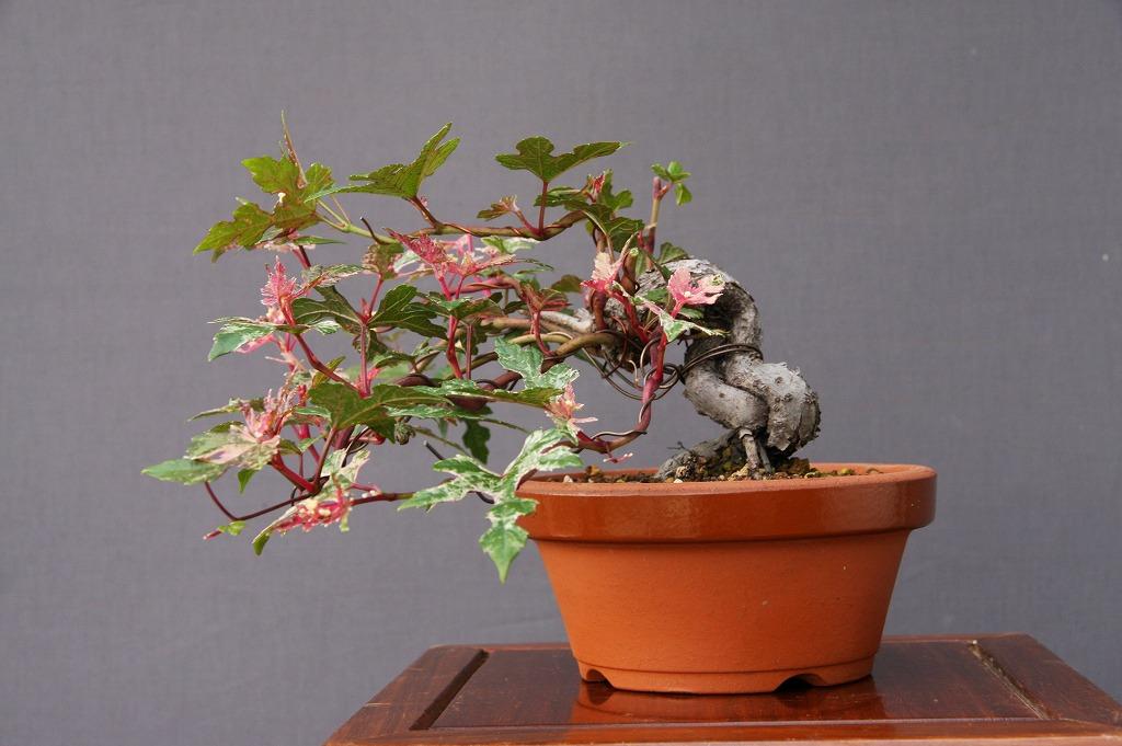 (株)一樹園    斑入り野ぶどう   小品盆栽/樹齢8年
