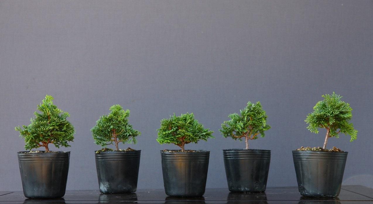 (株)一樹園   津山桧5本セット  小品盆栽/樹齢3年
