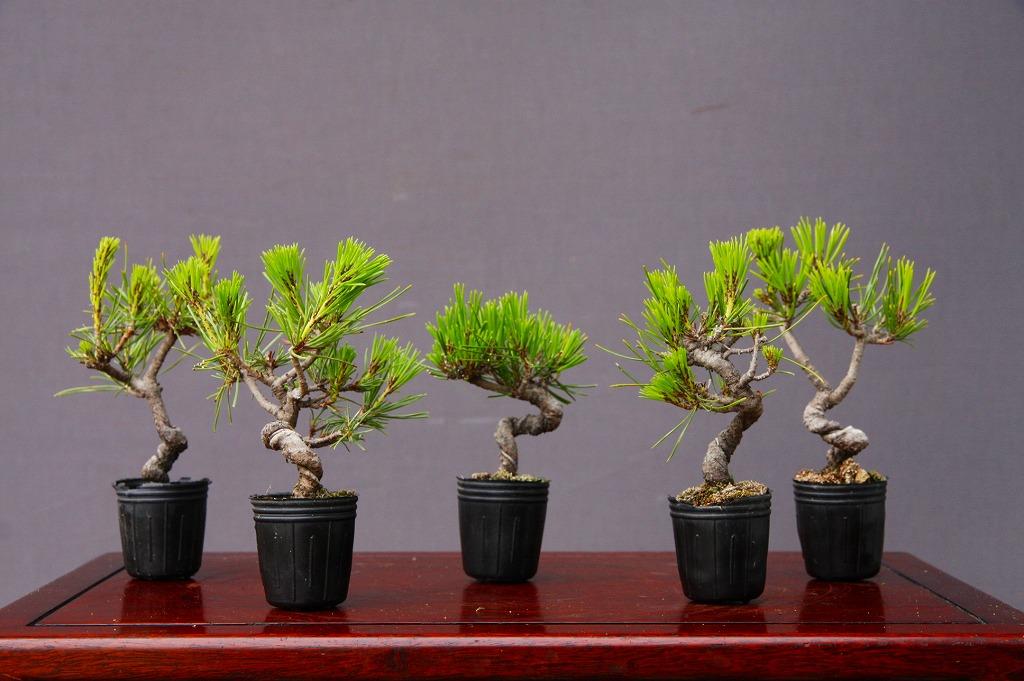 (株)一樹園   黒松5鉢セット  小品盆栽/樹齢8年