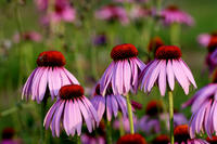 Nova Scotia & propolis spray 1 to 28 ml genuine /Echinacea / / / / organic / herbal / organic echinacea supplements /Supplement/Propolis / kids / kids ////fs3gm/ichi