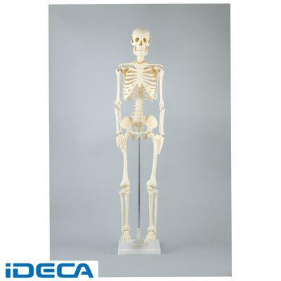 HT67397 人体骨格模型 85cm