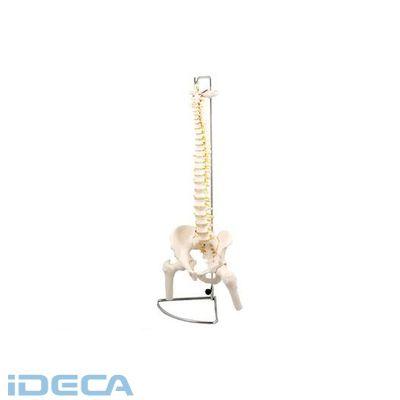 DR04052 ●脊柱模型 大腿骨付