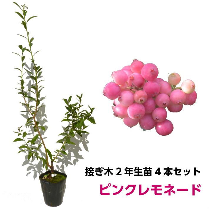 ブルーベリー 接ぎ木苗 ピンクレモネード 4本セット ハイブリッド品種 鉢植え 果樹苗