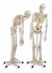 【送料無料】人体骨格モデルA15 ドイツ製(スリービー・サイエンティフィック社製) 3B 模型