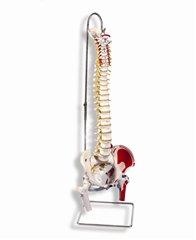 【送料無料】可動型脊柱モデルA58-3(大腿骨、筋・起始/停止表示付) ドイツ製(スリービー・サイエンティフィック社製) 3B 模型