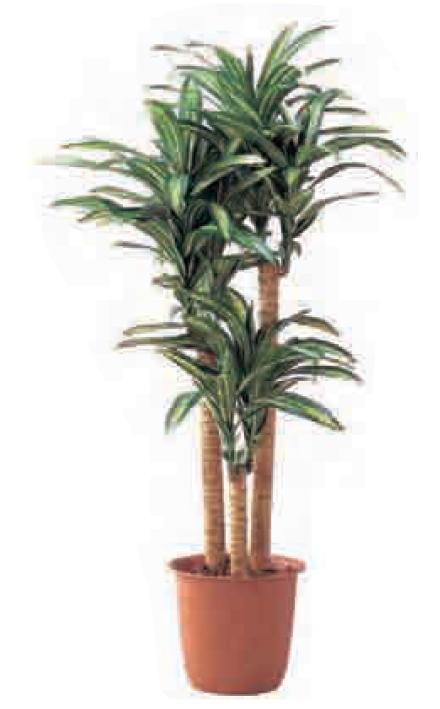 グローベン A70NC218A 幸福の木(3本立) H1800 鉢付
