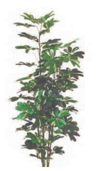 グローベン A70NT565A シェフレラ H1500 鉢付