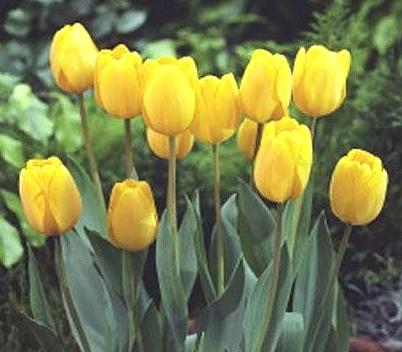 今植えて春のお楽しみ日本の風土に合う国産品 市場 新潟産チューリップ黄色 約12cm テレビで話題