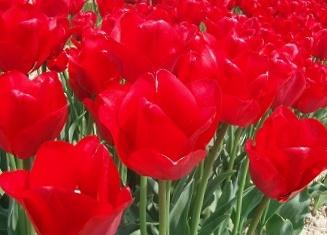今植えて春のお楽しみ日本の風土に合う国産品 新潟産チューリップ 国内送料無料 赤 人気ブランド 約12cm