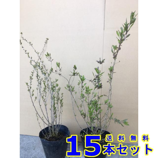 クコ (枸杞) 15.0p    樹高 0.3m前後  15本   植木 苗木 シンボルツリー 生垣