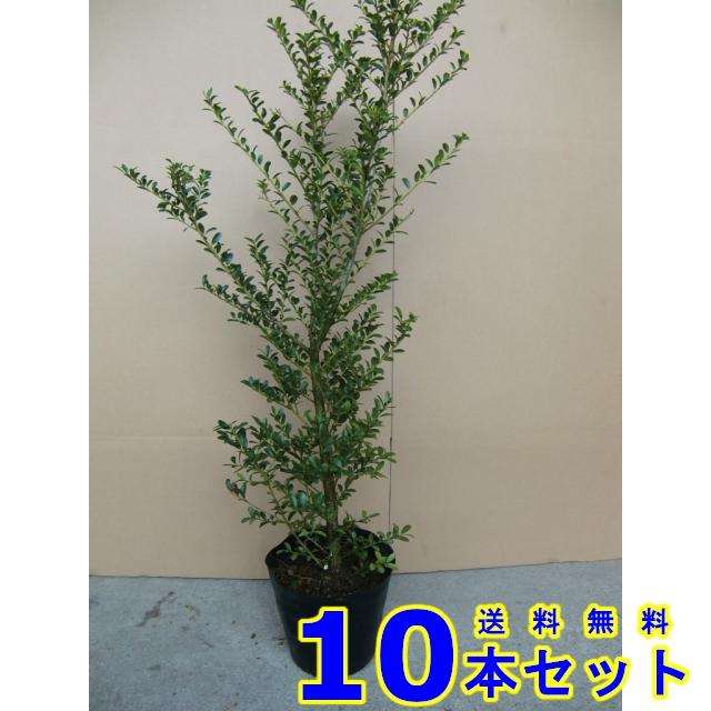 キンメツゲ (金芽柘植) 15.0p    樹高 0.5m前後  10本   植木 苗木 シンボルツリー 生垣