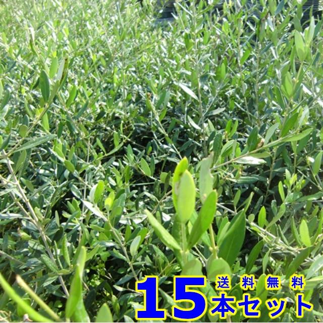 オリーブ (品種:フラントイオ) 10.5p    樹高 0.4m前後  15本   植木 苗木 シンボルツリー 生垣
