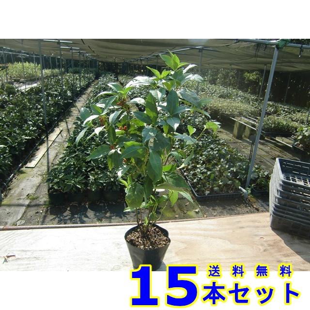 センリョウ (千両 赤実) 15.0p    樹高 0.5m前後  15本   植木 苗木 シンボルツリー 生垣