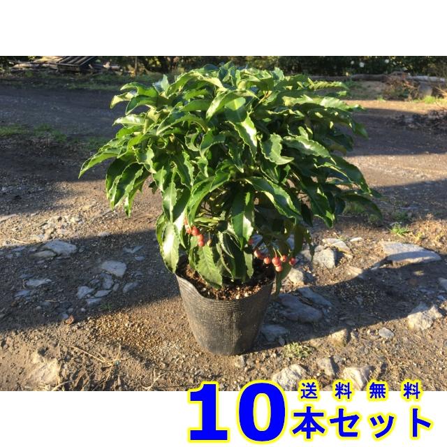 マンリョウ (万両 赤実) 15.0p    樹高 0.3m前後  10本   植木 苗木 シンボルツリー 生垣