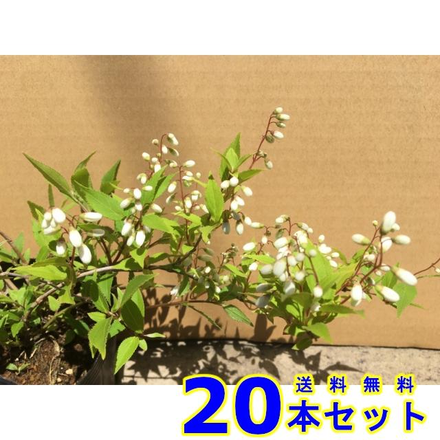 ヒメウツギ (姫卯木) 12.0p    樹高 0.2m前後  20本   植木 苗木 シンボルツリー 生垣