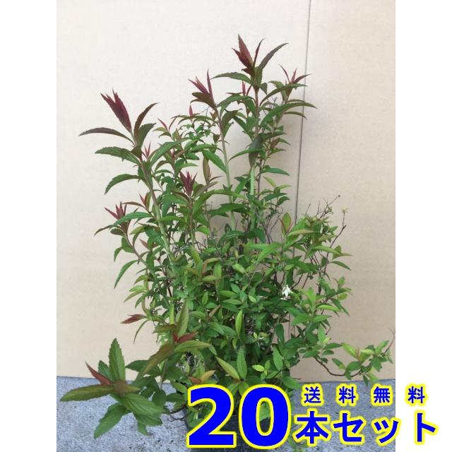 シモツケ (下野 花色 ピンク) 15.0p    樹高 0.3m前後  20本   植木 苗木 シンボルツリー 生垣
